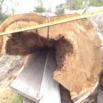 Large Cypress Burl, Close-up