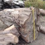 """45"""" Diameter Oak Stump"""
